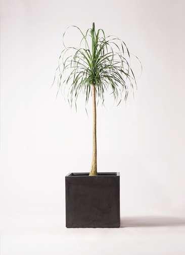 観葉植物 トックリラン ポニーテール 10号 ファイバークレイ キューブ 付き