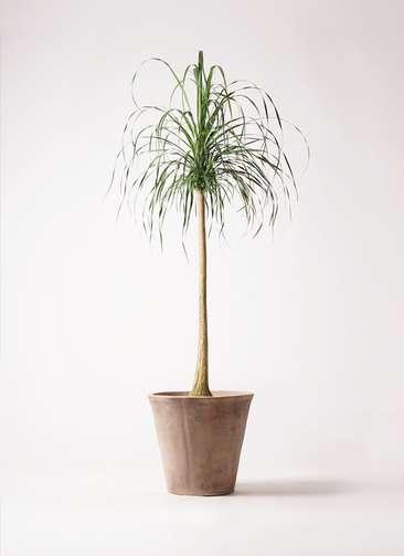 観葉植物 トックリラン ポニーテール 10号 ルーガ アンティコ ソリッド 付き