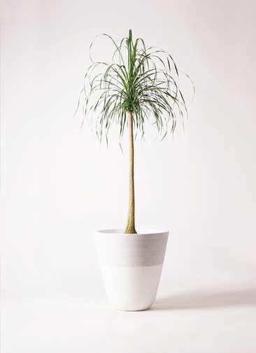 観葉植物 トックリラン ポニーテール 10号 ジュピター 白 付き