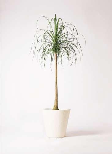 観葉植物 トックリラン ポニーテール 10号 フォリオソリッド クリーム 付き