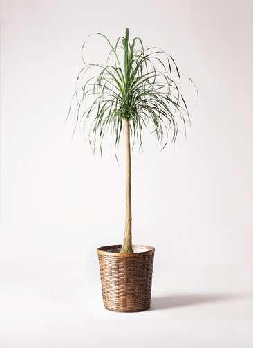 観葉植物 トックリラン ポニーテール 10号 竹バスケット 付き