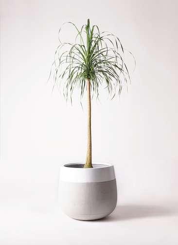 観葉植物 トックリラン ポニーテール 10号 ファイバーストーンタウルス ミドル 白 付き