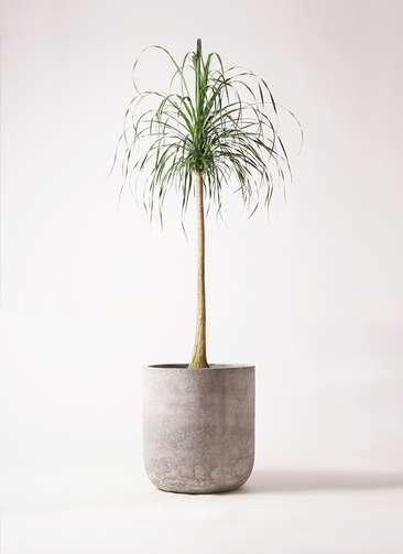 観葉植物 トックリラン ポニーテール 10号 エルバ 白 付き