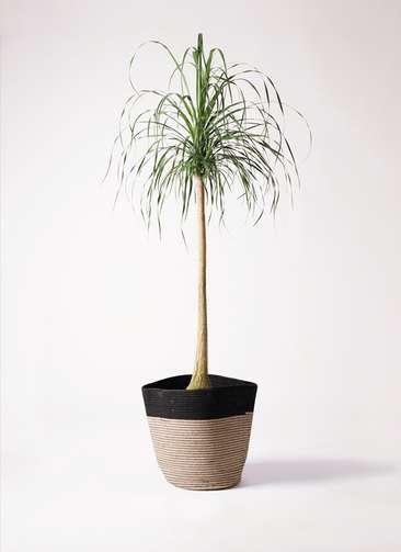 観葉植物 トックリラン ポニーテール 10号 リブバスケットNatural and Black 付き