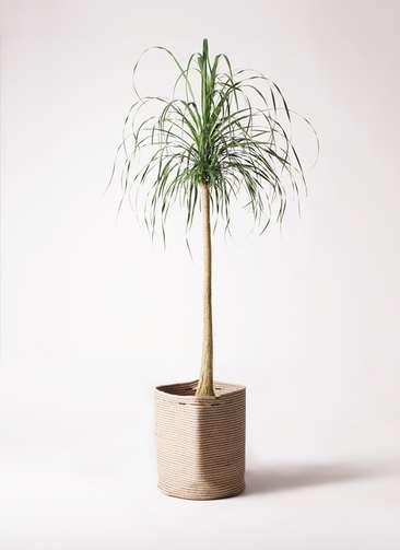 観葉植物 トックリラン ポニーテール 10号 リブバスケットNatural 付き