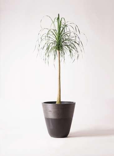 観葉植物 トックリラン ポニーテール 10号 ジュピター 黒 付き