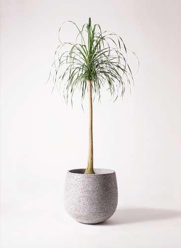 観葉植物 トックリラン ポニーテール 10号 エコストーンGray 付き