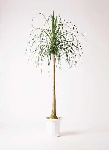 観葉植物 トックリラン ポニーテール 10号 プラスチック鉢