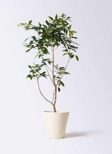 観葉植物 アマゾンオリーブ (ムラサキフトモモ) 10号 フォリオソリッド クリーム 付き