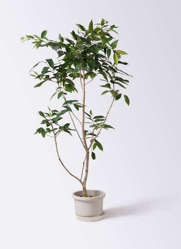 観葉植物 アマゾンオリーブ (ムラサキフトモモ) 10号 プラスチック鉢