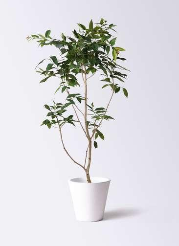 観葉植物 アマゾンオリーブ (ムラサキフトモモ) 10号 フォリオソリッド 白 付き
