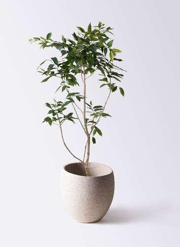 観葉植物 アマゾンオリーブ (ムラサキフトモモ) 10号 エコストーンLight Gray 付き