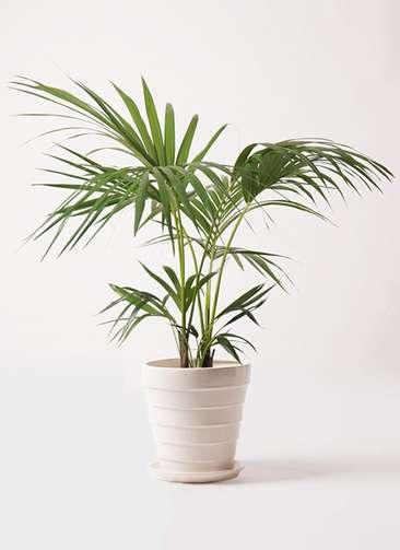 観葉植物 ケンチャヤシ 8号 サバトリア 白 付き