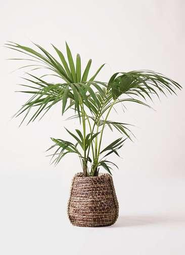 観葉植物 ケンチャヤシ 8号 リゲル 茶 付き