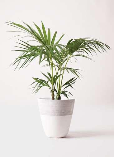 観葉植物 ケンチャヤシ 8号 ジュピター 白 付き