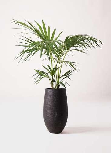 観葉植物 ケンチャヤシ 8号 フォンティーヌトール 黒 付き
