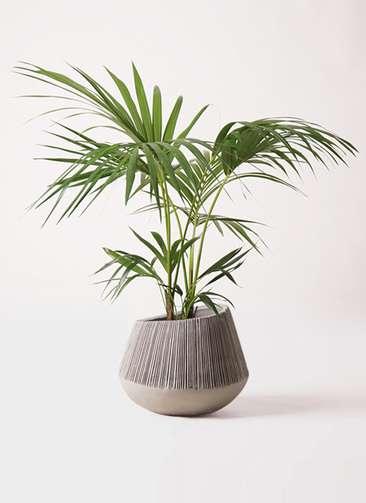 観葉植物 ケンチャヤシ 8号 エディラウンド グレイ 付き