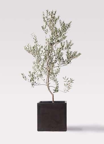 観葉植物 オリーブの木 10号 レッチーノ ファイバークレイ キューブ 付き