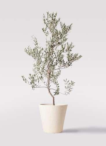 観葉植物 オリーブの木 10号 レッチーノ フォリオソリッド クリーム 付き