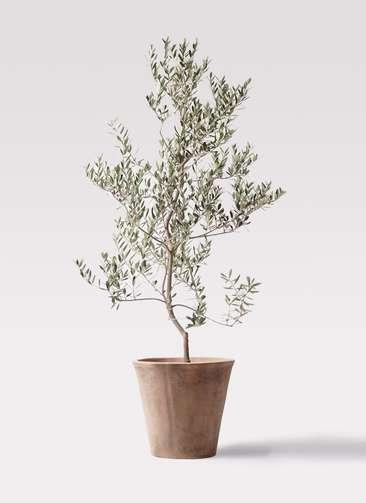 観葉植物 オリーブの木 10号 レッチーノ ルーガ アンティコ ソリッド 付き