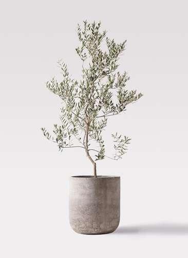 観葉植物 オリーブの木 10号 レッチーノ エルバ 白 付き