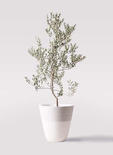 観葉植物 オリーブの木 10号 レッチーノ ジュピター 白 付き
