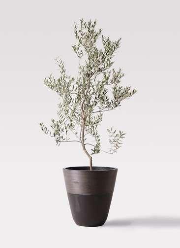 観葉植物 オリーブの木 10号 レッチーノ ジュピター 黒 付き