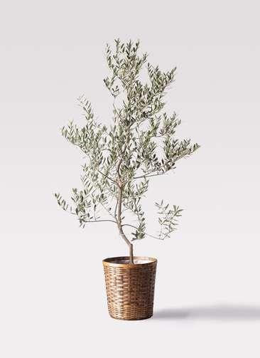 観葉植物 オリーブの木 10号 レッチーノ 竹バスケット 付き