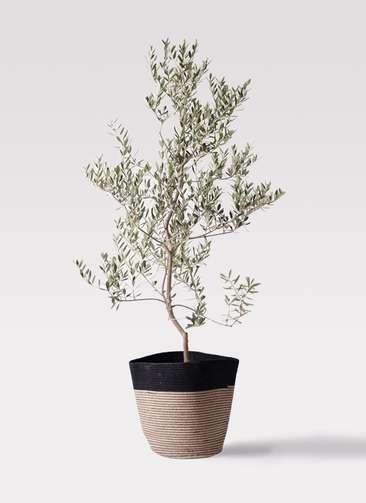 観葉植物 オリーブの木 10号 レッチーノ リブバスケットNatural and Black 付き