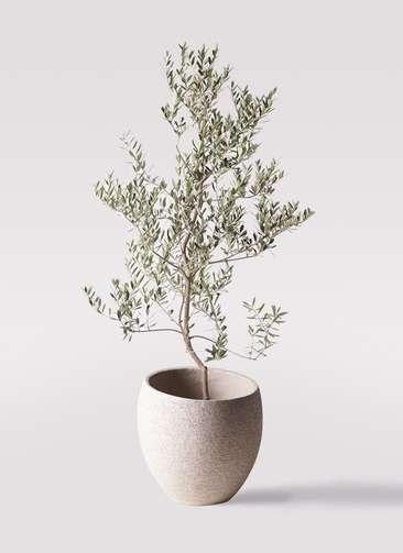 観葉植物 オリーブの木 10号 レッチーノ エコストーンLight Gray 付き