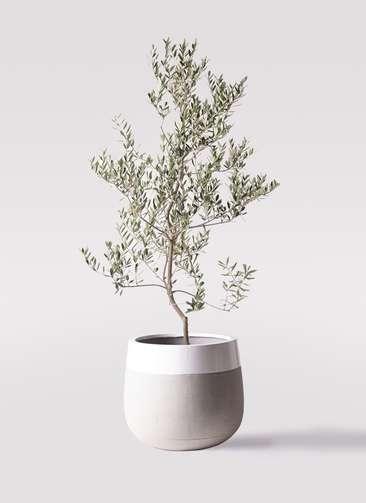 観葉植物 オリーブの木 10号 レッチーノ ファイバーストーンタウルス ミドル 白 付き