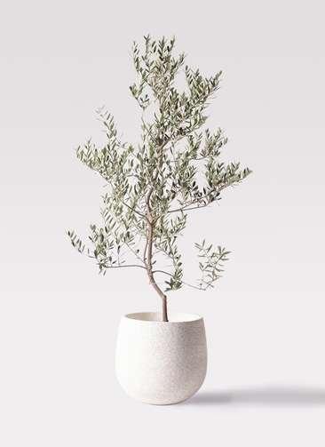 観葉植物 オリーブの木 10号 レッチーノ エコストーンwhite 付き