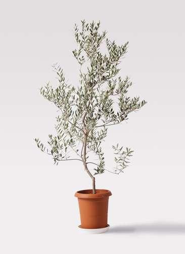 観葉植物 オリーブの木 10号 レッチーノ プラスチック鉢