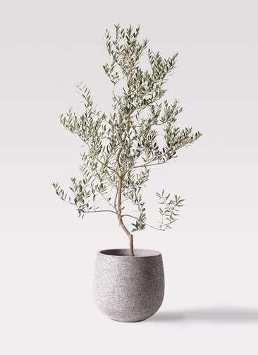 観葉植物 オリーブの木 10号 レッチーノ エコストーンGray 付き