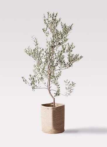 観葉植物 オリーブの木 10号 レッチーノ リブバスケットNatural 付き