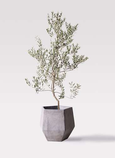 観葉植物 オリーブの木 10号 レッチーノ ファイバークレイGray 付き