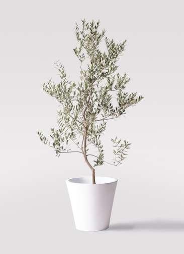 観葉植物 オリーブの木 10号 レッチーノ フォリオソリッド 白 付き