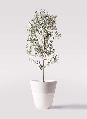 観葉植物 オリーブの木 10号 ミッション ジュピター 白 付き