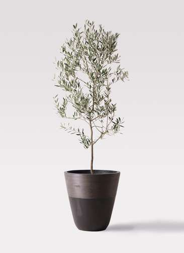 観葉植物 オリーブの木 10号 ミッション ジュピター 黒 付き
