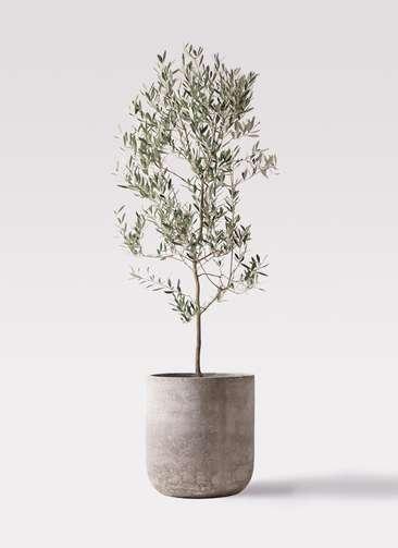 観葉植物 オリーブの木 10号 ミッション エルバ 白 付き