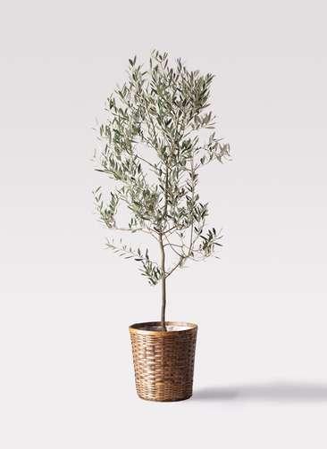 観葉植物 オリーブの木 10号 ミッション 竹バスケット 付き