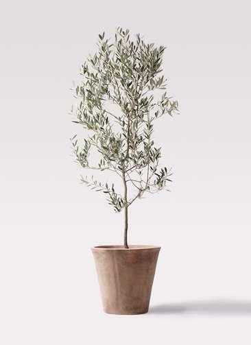 観葉植物 オリーブの木 10号 ミッション ルーガ アンティコ ソリッド 付き