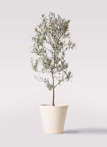 観葉植物 オリーブの木 10号 ミッション フォリオソリッド クリーム 付き