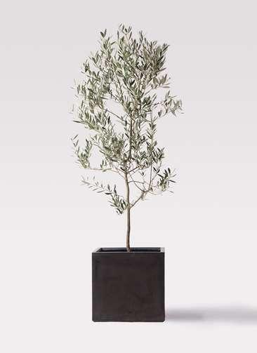 観葉植物 オリーブの木 10号 ミッション ファイバークレイ キューブ 付き