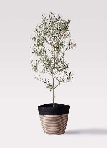 観葉植物 オリーブの木 10号 ミッション リブバスケットNatural and Black 付き