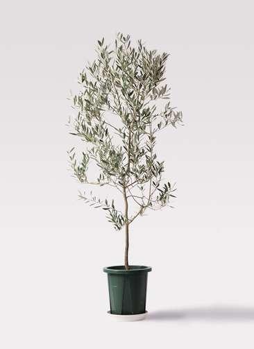 観葉植物 オリーブの木 10号 ミッション プラスチック鉢
