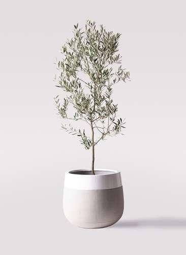 観葉植物 オリーブの木 10号 ミッション ファイバーストーンタウルス ミドル 白 付き