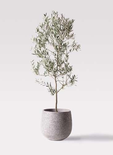 観葉植物 オリーブの木 10号 ミッション エコストーンGray 付き