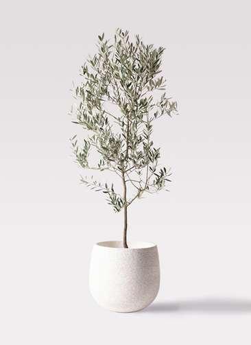 観葉植物 オリーブの木 10号 ミッション エコストーンwhite 付き