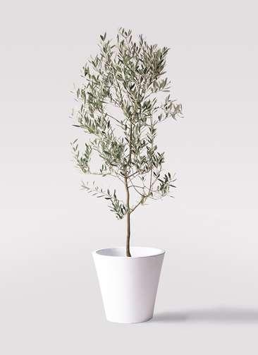 観葉植物 オリーブの木 10号 ミッション フォリオソリッド 白 付き